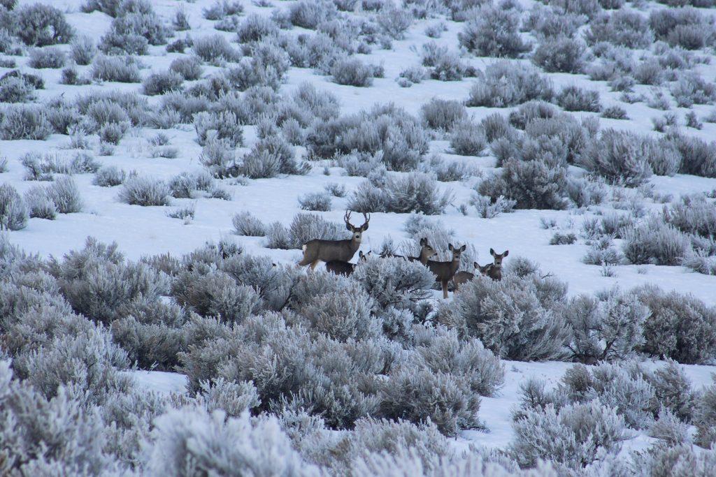 Nevada mule deer hunting applications
