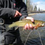 bitterroot river cutthroat trout